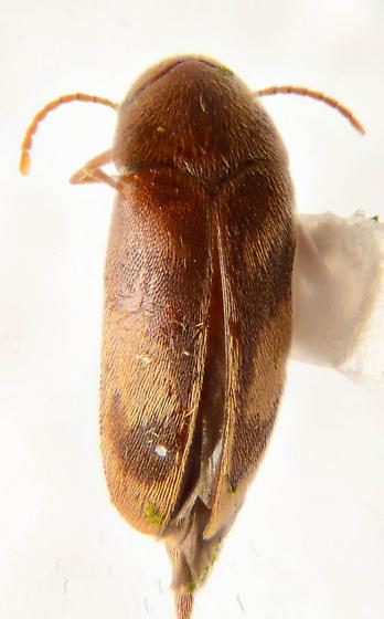 Nice Mordellid  - Mordellistena liturata