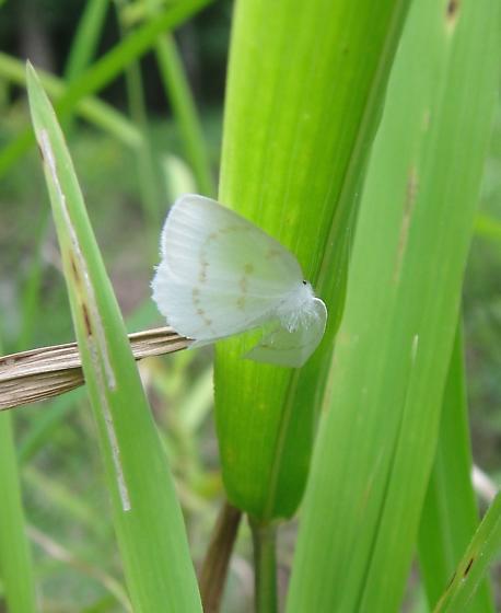 Is this possibly Southern Eudeilinia ? - Eudeilinia herminiata