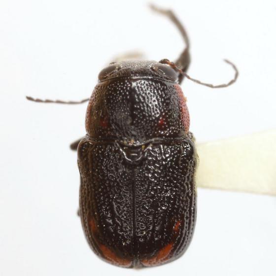 Pachybrachis subvittatus J. L. LeConte - Pachybrachis subvittatus - female