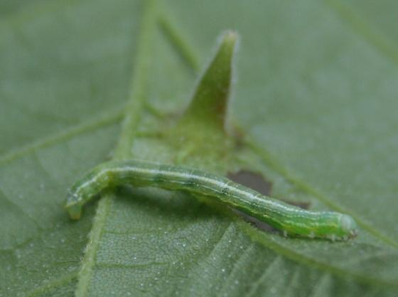 Unknown Caterpillar - Alsophila pometaria