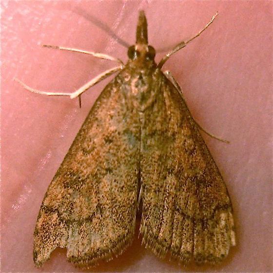 Celery Leaftier - Hodges #5079 (Udea rubigalis) - Udea rubigalis