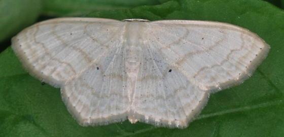 Simple Wave - Scopula limboundata - female