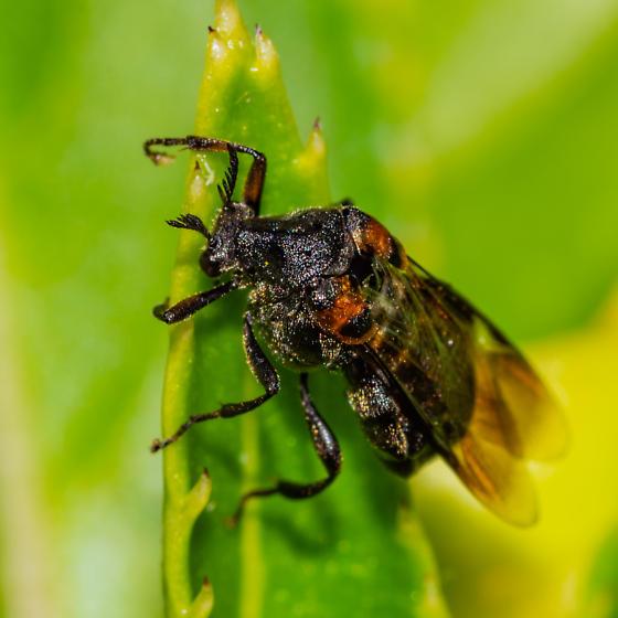 Ripiphorus Genus? - Ripiphorus fasciatus-complex