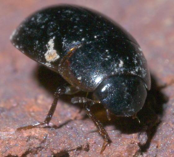 Dark green, streamlined beetle - Enochrus