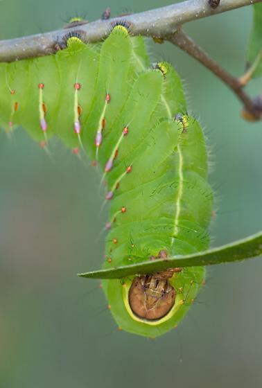 Polyphemus Moth Caterpillar - Antheraea polyphemus
