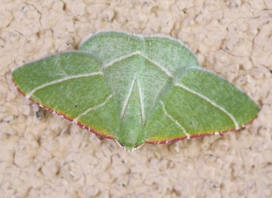 Dichordophora phoenix? - Dichordophora phoenix - male