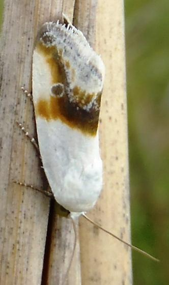 Prairie Bird-dropping Moth - Ponometia binocula