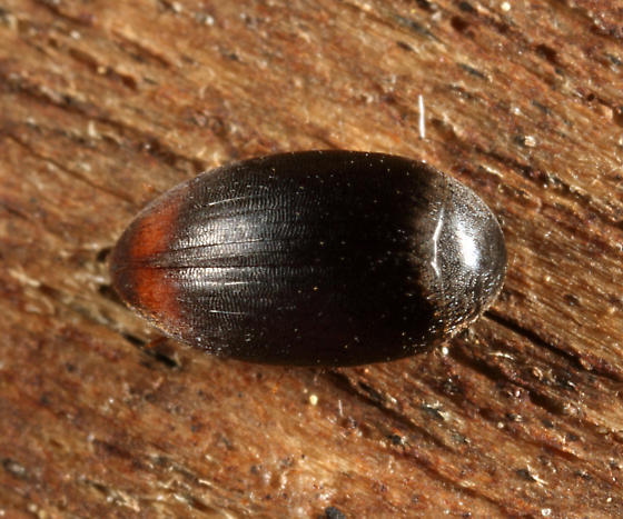 beetle - Eucinetus haemorrhoidalis