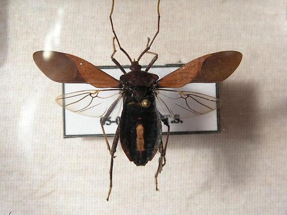 Leaf-footed Bug - Acanthocephala terminalis