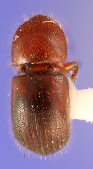 Xylosandrus crassiusculus dorsal view - Xylosandrus crassiusculus