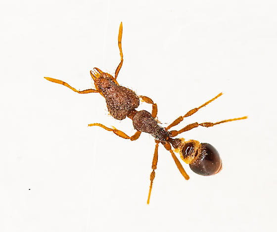 Mini Ant - Strumigenys rostrata
