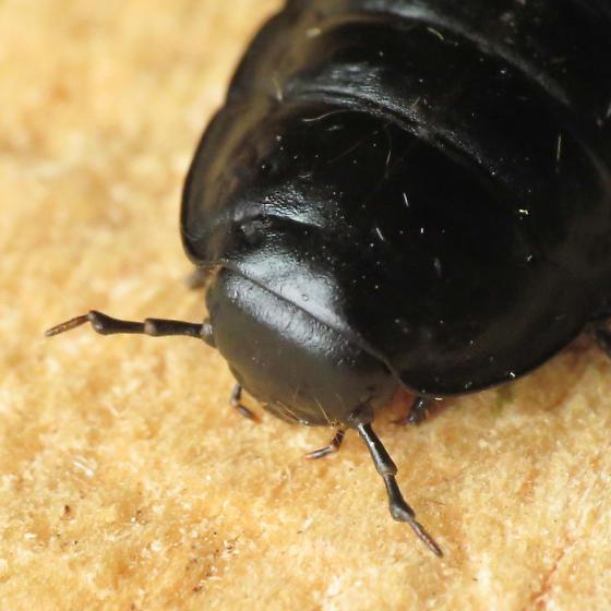 Carrion Beetle larva
