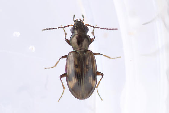 B. versicolor  - Bembidion versicolor