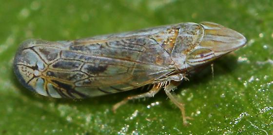 Which species of Scaphytopius? - Scaphytopius nr-majestus