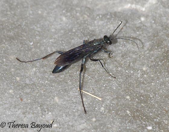 wasp - Chalybion californicum
