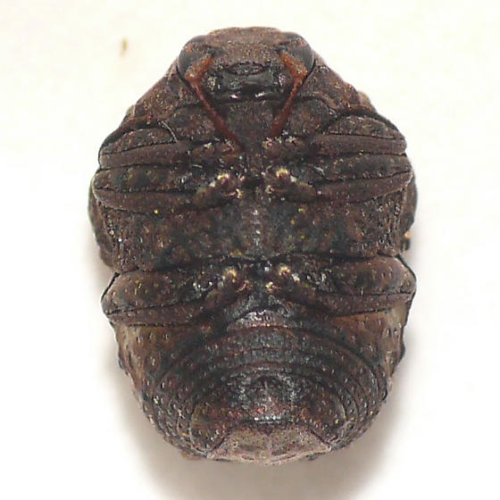 Warty leaf beetle 10.06.17 (2) - Neochlamisus