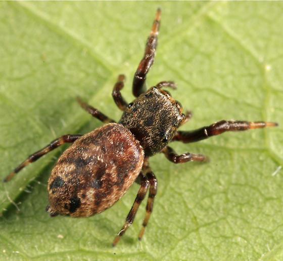 jumping spider - Zygoballus nervosus - female
