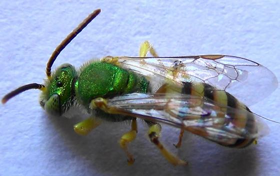 Belly of the Beast - Agapostemon melliventris - male