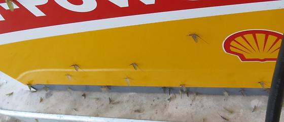 many mayflies