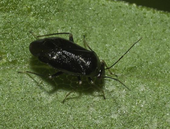 Black bug for Won Gun - Slaterocoris stygicus - male