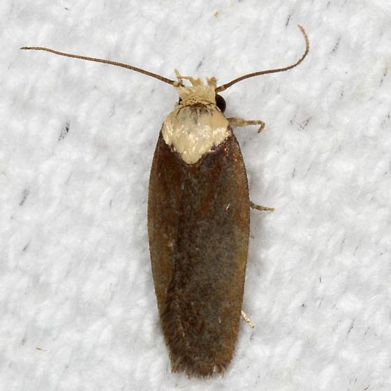 Purple Carrot-seed Moth - Hodges#0924.1 - Depressaria depressana