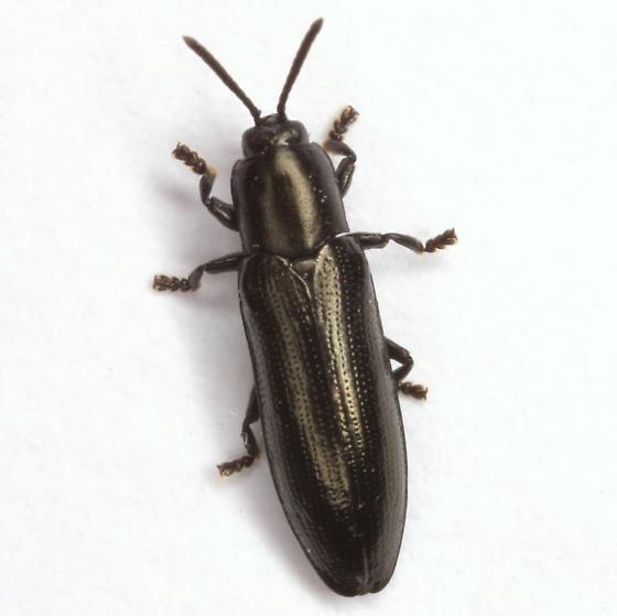 Stenispa metallica (Fabricius) - Stenispa metallica