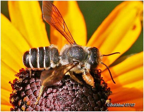 Leaf Cutting Bee - Megachile - male