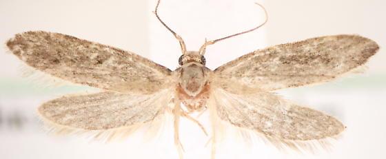 Holcocera - Holcocera chalcofrontella - male