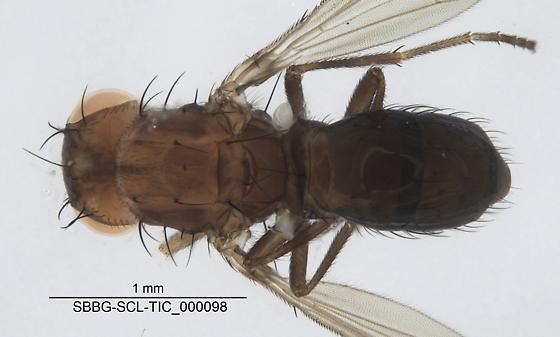 Diptera - Afrocamilla bispinosa
