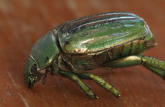 beetle, green striped - Chrysina gloriosa