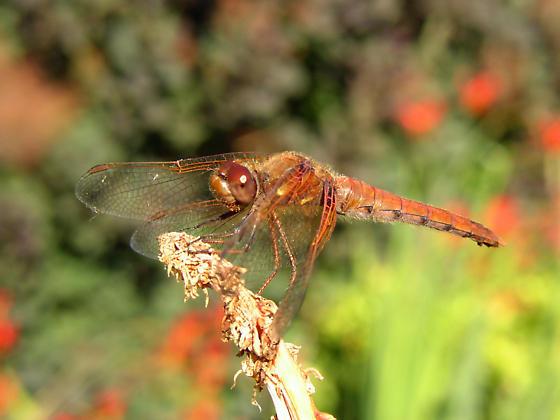 Cardinal Meadowhawk - Sympetrum illotum - Sympetrum illotum - male