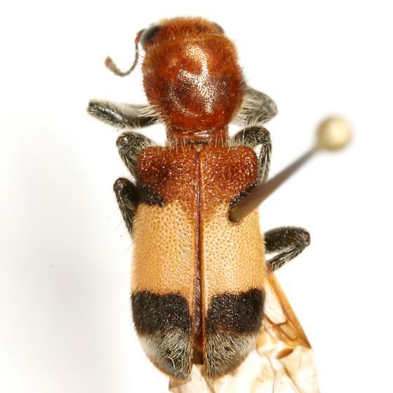 Enoclerus ichneumoneus (Fabricius) - Enoclerus ichneumoneus