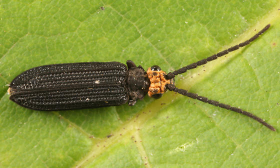 Reticulated Beetle - Cupes capitatus