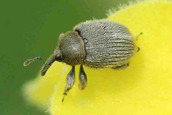 weevil - Rhinusa tetra