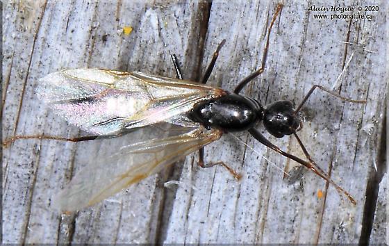 Camponotus novaeboracensis - male