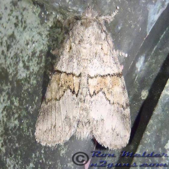 Moth 01 - Gluphisia septentrionis