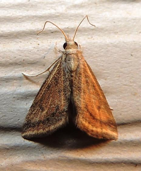 Yellow-veined moth for October - Microtheoris ophionalis