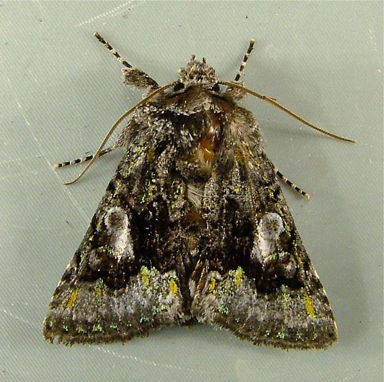 Behrensia conchiformis 10178 - Behrensia conchiformis