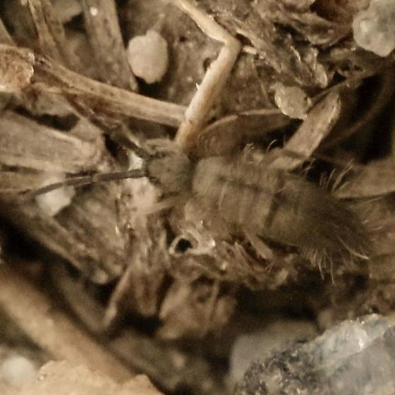 Brown on brown springtail - Entomobrya unostrigata