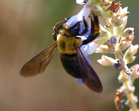 Xylocopa appendiculata Smith - Xylocopa appendiculata - female