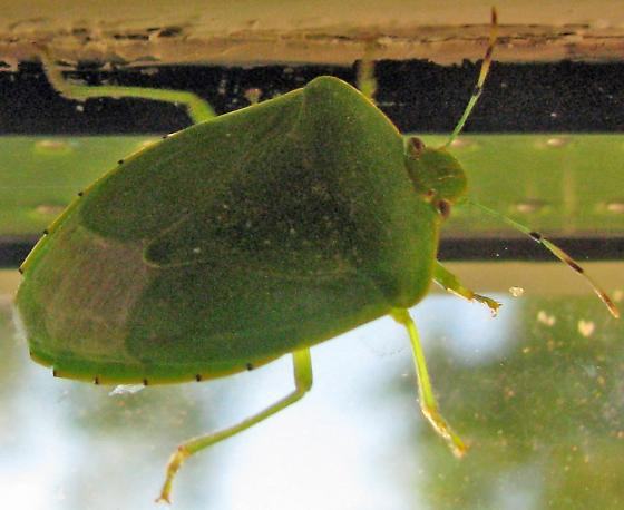 Large green stink bug - Chinavia hilaris