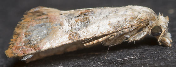 Cochylis arthuri - Cochylichroa arthuri - male