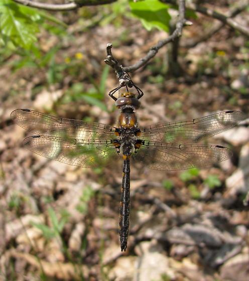 Uhler's Sundragon - Helocordulia uhleri