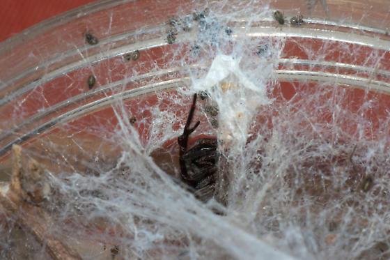 Cribellate spider - Badumna longinqua - female