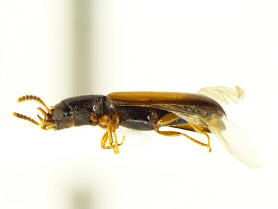 Iccius cylindricus - male