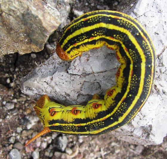 Hornworm - Hyles lineata