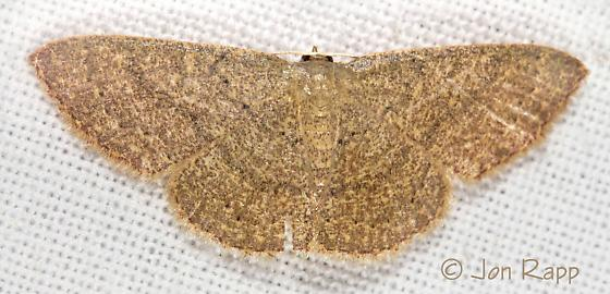 Common Tan Wave - Pleuroprucha insulsaria