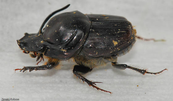 Bull Dung Beetle - Onthophagus taurus - BugGuide.Net Q The Dung Beetle