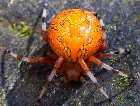 Orange Marbled Orb Weaver - Araneus marmoreus - female
