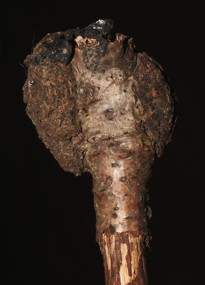 Psocodea  - Echmepteryx hageni